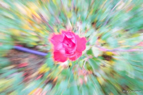 Zooming rosa