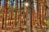 Luz entre los pinos