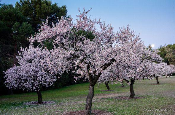 Jardín de almendros
