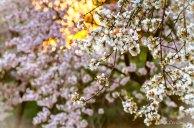 Flores de almendro mosaico