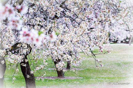 Jardín de almendros II