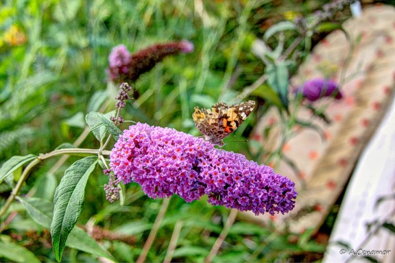 Buddleja davidii y Painted Lady