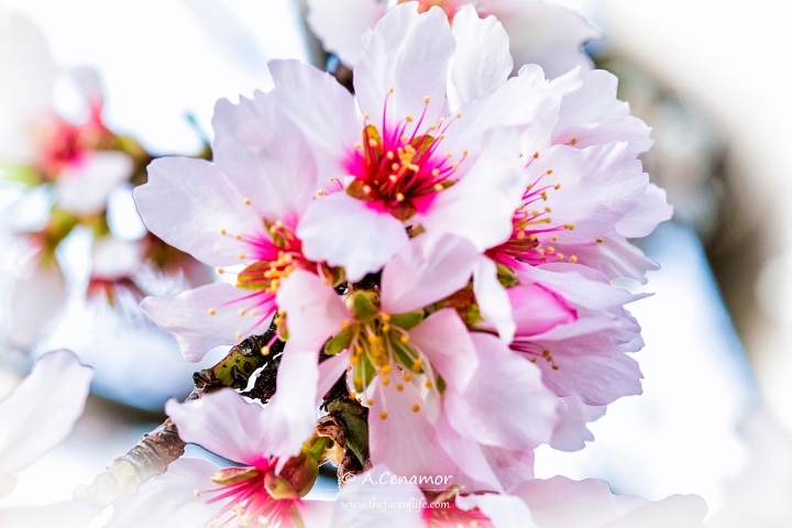 almond flower II