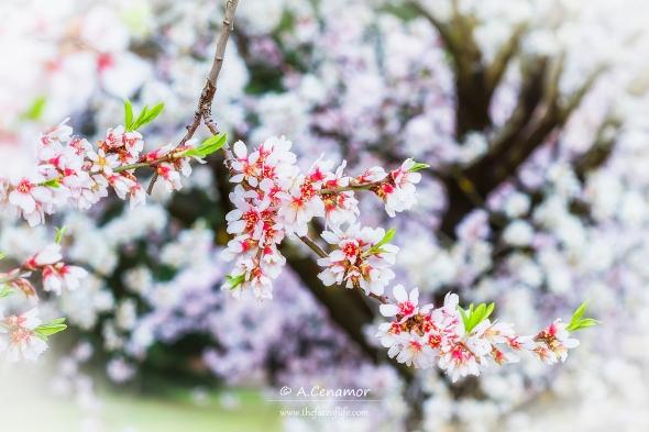almond flower I
