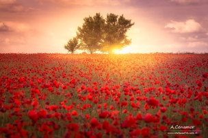 Sunrise field of poppies