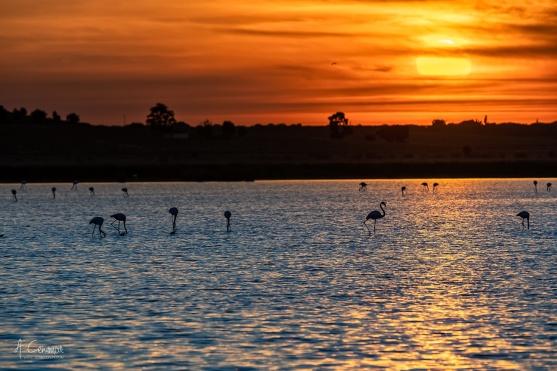 Flamingos at sunset