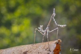 Empusa pennata - Mantis palo