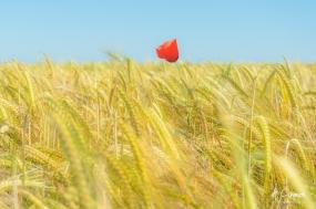 Solitaire poppy