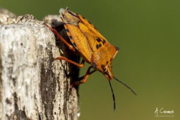 Carpocoris fuscispinus, chinche escudo