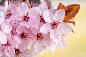 Prunus pisardi, marceando